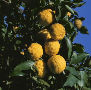 木に実るハナユズのアップの写真素材 [FYI02362013]