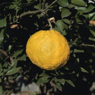 木に実るオニユズのアップの写真素材 [FYI02362070]
