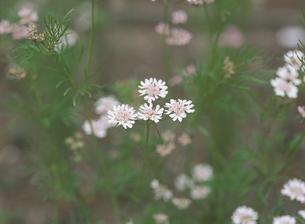 ハーブ(コリアンダー)の花の写真素材 [FYI02362129]