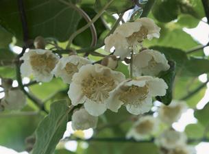 満開のキウイの花のアップの写真素材 [FYI02362233]
