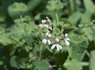 ハーブ(ナツメグゼラニューム)の花の写真素材 [FYI02362284]