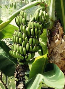 薬草 サンジャクバナナの写真素材 [FYI02362544]