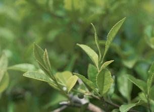 茶葉の写真素材 [FYI02362862]