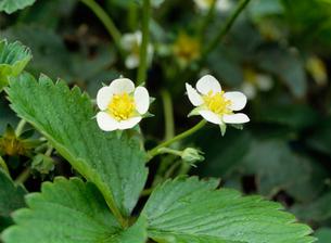 イチゴの花の写真素材 [FYI02362893]
