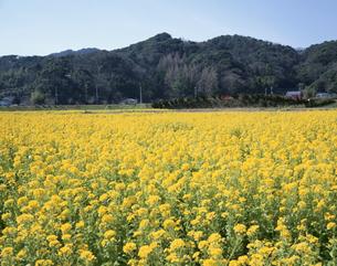 菜の花畑の写真素材 [FYI02362911]