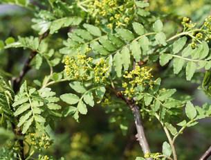 サンショウの花の写真素材 [FYI02362918]