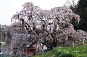 三春滝桜の写真素材 [FYI02363024]