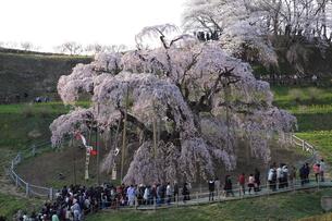 三春滝桜の写真素材 [FYI02363214]