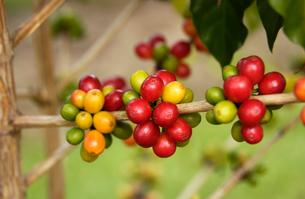 コーヒーの実の写真素材 [FYI02363577]