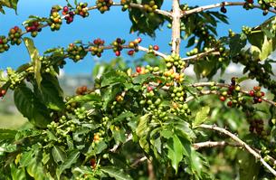 コーヒーの木の写真素材 [FYI02363636]