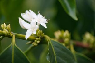 コーヒーの花の写真素材 [FYI02363826]