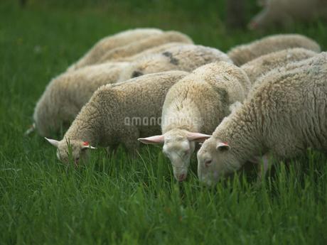 羊の写真素材 [FYI02364986]