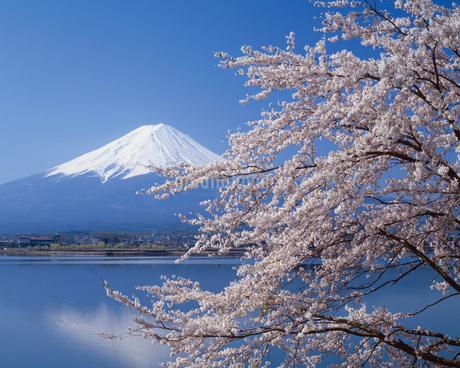 桜咲く河口湖と富士山の写真素材 [FYI02365868]