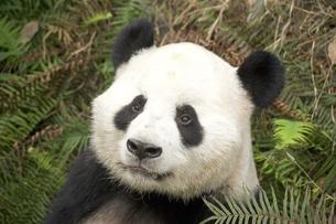 パンダの写真素材 [FYI02366305]
