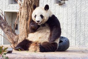 パンダの写真素材 [FYI02367125]