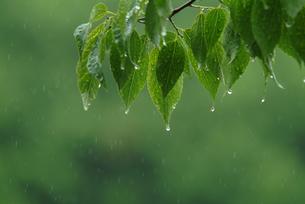 緑葉の写真素材 [FYI02368598]