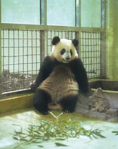 ジャイアントパンダの写真素材 [FYI02369840]