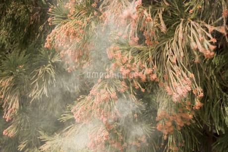 杉花粉の写真素材 [FYI02371703]