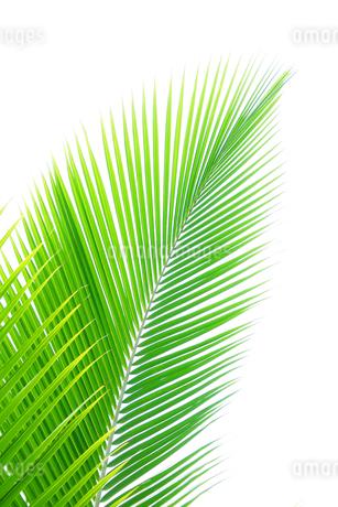 椰子の葉の写真素材 [FYI02371741]