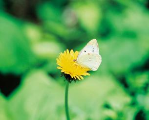 蝶とタンポポの写真素材 [FYI02371743]
