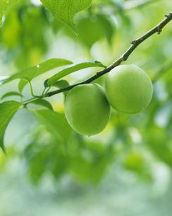 梅の実の写真素材 [FYI02371746]