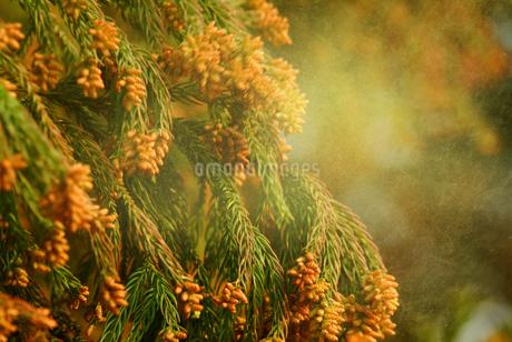 杉花粉の写真素材 [FYI02372315]