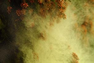 杉花粉の写真素材 [FYI02372686]