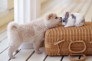 子犬とウサギの写真素材 [FYI02372772]