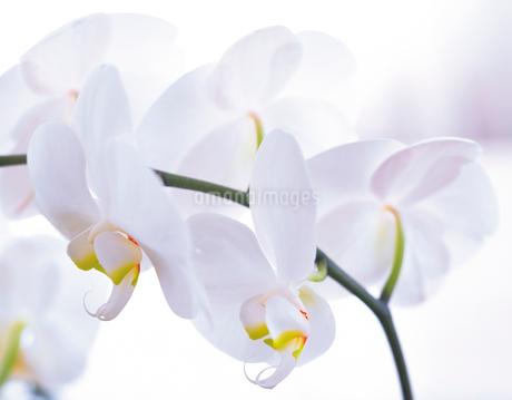 胡蝶蘭の写真素材 [FYI02373125]
