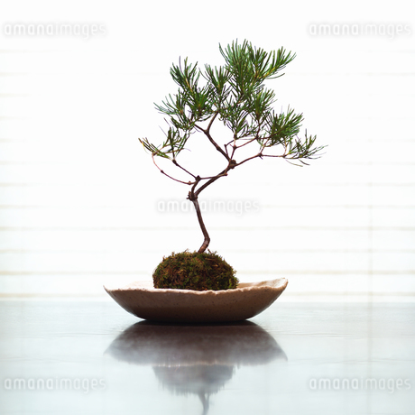 ミニ盆栽の写真素材 [FYI02373994]