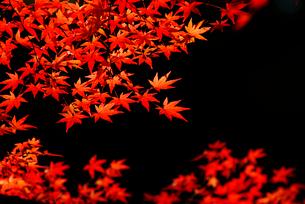 紅葉の写真素材 [FYI02374111]