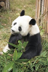 パンダの写真素材 [FYI02374565]
