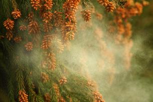 杉花粉の写真素材 [FYI02375428]