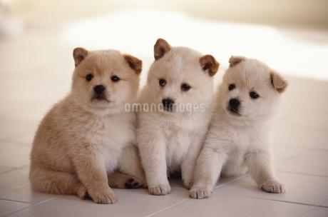 子犬の写真素材 [FYI02375641]