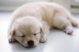 子犬の写真素材 [FYI02375685]