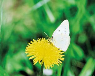 蝶とタンポポの写真素材 [FYI02376838]