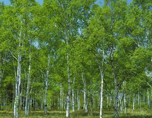白樺林の写真素材 [FYI02378627]