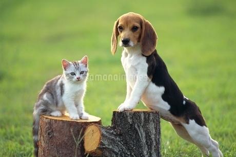 ビーグルと仔猫の写真素材 [FYI02379750]