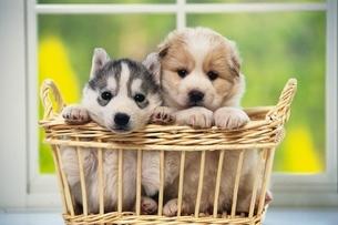 子犬の写真素材 [FYI02380759]