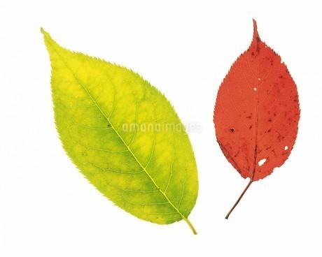 紅葉の葉の写真素材 [FYI02380791]