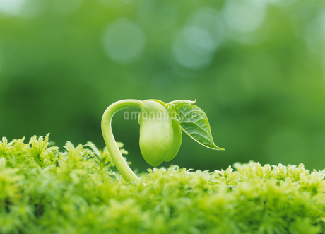 新芽の写真素材 [FYI02387001]