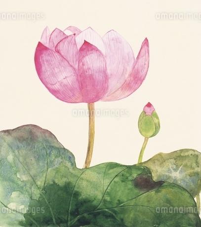 蓮の花 イラストのイラスト素材 [FYI02388277]