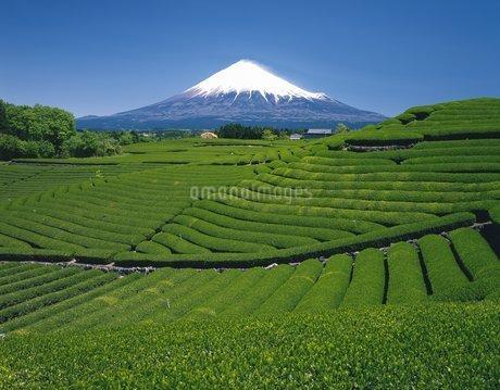 茶畑と富士山の写真素材 [FYI02388884]
