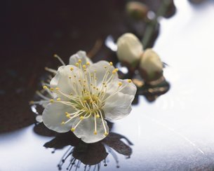 梅の花の写真素材 [FYI02391490]