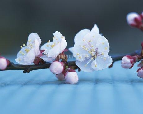 梅の花の写真素材 [FYI02392676]