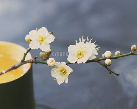 梅の花の写真素材 [FYI02392846]