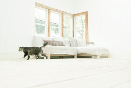 室内を歩くネコの写真素材 [FYI02402739]