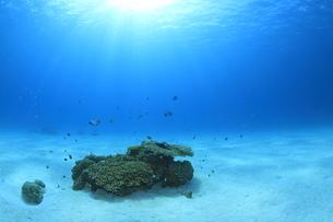 陽光を浴びる慶良間諸島のサンゴとスズメダイの写真素材 [FYI02416770]