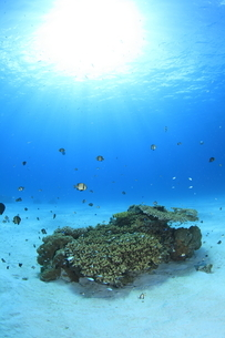 陽光を浴びる慶良間諸島のサンゴとスズメダイの写真素材 [FYI02416817]
