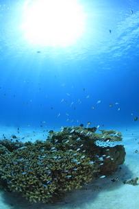陽光を浴びる慶良間諸島のサンゴとスズメダイの写真素材 [FYI02417177]